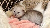 Çinliler orman kedisi klonladı