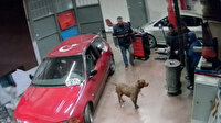 Arnavutköy'de tamirhanede pitbull paniği kamerada
