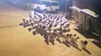 Mersin'de polis çalınan koyunları dışkılarını takip ederek buldu