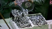 Balıkçılar hamsiye hücum etti: Kasalar dolusu hamsi çekildi