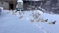 Kaz ve ördeklerin gülümseten kar sevinci