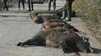 Böyle domuz avı görülmedi: 12 dev domuz avlandı