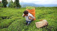 30 ülkeye 3 bin ton çay ihraç edildi
