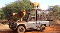 Senegal'deki doğal yaşam parkının ziyaretçileri aslanları yakından görebilmek için 'kafese' giriyor