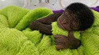 650 gram olarak dünyaya gelen minik maymunu görenler şaşkına döndü