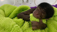 Çin'de 650 gram dünyaya gelen minik maymuna rekor beğeni
