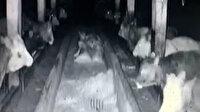 Kayseri depreminde ineklerin paniği kamerada