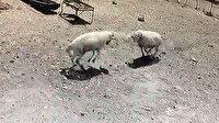 Amasya'da inatçı koçlar öfkelerinin kurbanı oldu