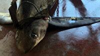 Antalya'da 6 metrelik köpekbalığı yakalandı
