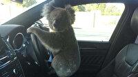 Zincirleme kazaya neden olan koala direksiyon başında poz verdi