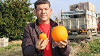 Normalden 34 kat büyük: Adana'da 1 kilo 260 gramlık dev portakal görenleri şaşırttı