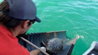 ABD'de donmaktan kurtarılan binlerce deniz kaplumbağası yeniden suyla buluştu