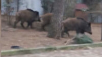 Burası İstanbul: Aç kalan domuzlar mesire alanına indi