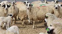 İşte 'doğal küpeli' koyunlar: Nadir görülen olay herkesin dikkatini çekiyor