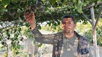 'Gençlik iksiri' çiftçiye 150 bin TL gelir sağlıyor: Markette kilosu 100 TL