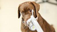 Koronavirüslü hastayı kokusundan tanıyacak: Taylandlı bilim insanları 6 köpeği Kovid-19 testi için eğitti