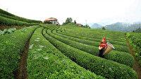 Çay İşletmeleri Genel Müdürlüğü 500 personel alacak