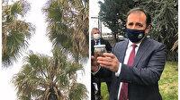 İstanbul'daki palmiyelerde 'kırmızı böcek' tehlikesi: Bulaştıkları ağacı öldürüyorlar