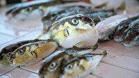 Siyanürden 1200 kat daha güçlü: Balon balığı zehri ağrı kesici ilaca dönüşecek