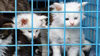 Ankara'da 29 Norveç orman kedisine el konuldu