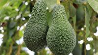 Türkiye'de ilk sera hasadı: En küçüğü 400 gram