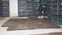 Bu iş için kiraya çıkıp evini seraya dönüştürdü: Bu yıl 300 bin lira gelir bekliyor