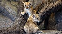 İki yavru aslanın isimleri sosyal medya oylamasıyla belirlenecek