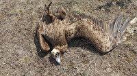 Nesli tehlike altındaki 7 kara akbaba ölü bulundu: Doğaya atılan zehirli etleri yemişler
