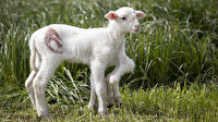 Edirne'de 6 bacakla dünyaya gelen kuzu görenleri şaşırttı
