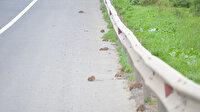 Aç kalan fareler otoyolu bastı