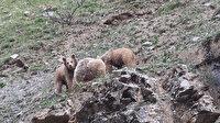 Kısıtlama tedbirleri yaban hayatına yaradı: Ayılar ve yaban keçileri vadilere indi