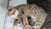 Yapışık beşiz kediler operasyonla özgürlüklerine kavuştu