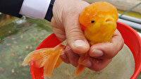 Japon balığına güzellik katan renkli topaklar aslında bir çeşit ur