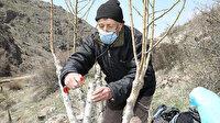 Emekli öğretmen doğadaki yabani ağaçları meyve vermesi için gönüllü olarak aşılıyor