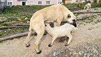 Bursa'da şaşırtan görüntü: Kuzunun 'süt annesi' çoban köpeği oldu