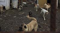 Konteynerlerden yüzlerce köpek çıktı: Uygunsuz koşullarda 250 köpeğin bulunduğu ruhsatsız barınak mühürlendi