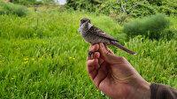 Şaşırtan yolculuk: 8 gram bir kuş Karadeniz'i bir gecede geçebiliyor