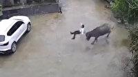 Çin'de bizonun saldırdığı küçük çocuk yaralandı