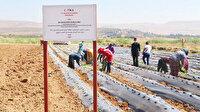 Afrin'e çilek bahçeleri