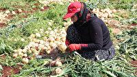 Soğanın hasadı başladı: Fiyatı tarlada 70 kuruşa düştü