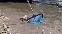 Alanya'da sahil kıyısında balon balığı paniği