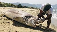 Kuşadası'nda dev köpek balığı ölüsü sahile vurdu