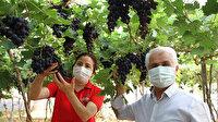Dalında 30 lira: Mersin'de turfanda siyah üzüm hasadı başladı