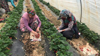 Çilek hasadı başladı: Çanakkaleli üreticinin yüzü güldü
