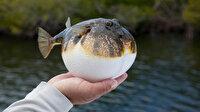 Resmi Gazete'de yayımlandı: Balon balığı avlayanlara balık başı 5 lira ödeme yapılacak