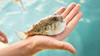 Balon balığı avlayana 5 milyon lira: Beneklisine 5 lira değer biçildi