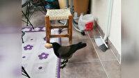 Evin balkonuna giren karga yumurtaları alarak gözden kayboldu