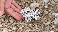 Dünyada eşi yok: Bu bitki sadece Tuz Gölü havzasında yetişiyor