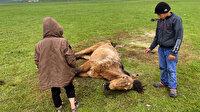 Ardahan'da ayağı kırılan sahipsiz atı çocuklar elleriyle besledi