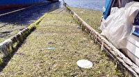 İzmir'de deniz salyasından sonra şimdi de deniz marulu kabusu: Kokudan durulmuyor